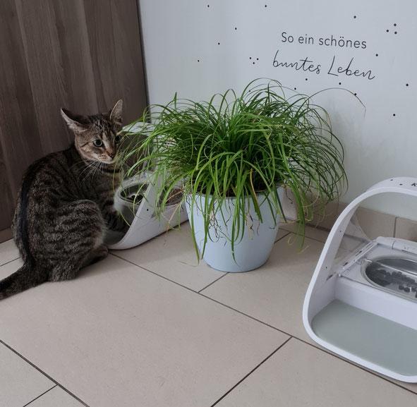 Futterdiebstahl ausgeschlossen! Katze Fibi kennt von klein auf die Fütterung mit dem SureFeed Mikrochip Futterautomaten