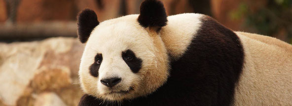 Gites des Barres panda Beauval