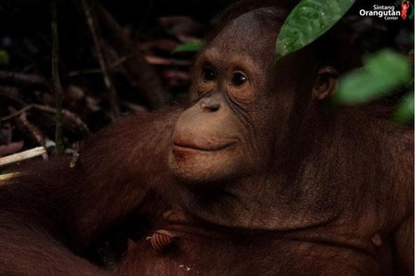 Alle Bilder: Victoria, ®Sintang Orangutan Center und Masarang HK (Text)