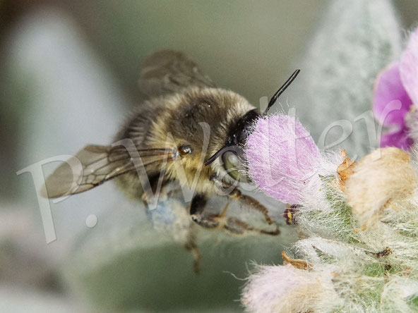 Bild: höchstwahrscheinlich die Vierfleck-Pelzbiene, Anthophora quadrimaculata, die hier Nektar am Woll-Ziest trinkt, mit blauen Pollenpaketen vom Natternkopf