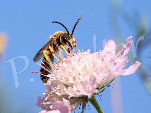 01.09.2018 : ein Männchen der Gelbbindigen Furchenbiene an einer Blüte der Tauben-Skabiose