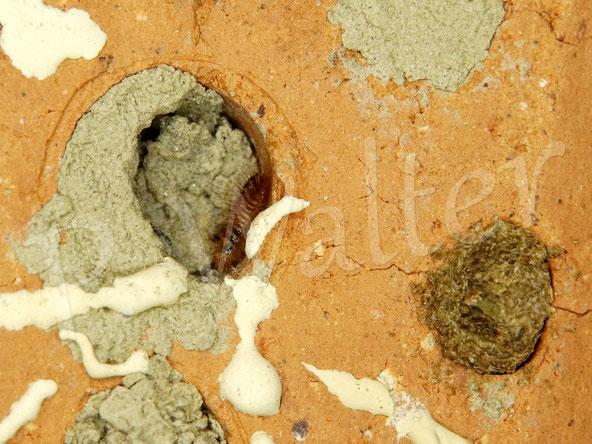 28.08.2020 : irgendeine parasitäre Raupe/Larve, die sich hier Zugang verschaffen mag; zuerst hatte sie rechts am Verschluss der Distel-Mauerbiene genagt, von der ich sie allerdings weggepustet hatte, da letztere nur sehr wenige Kammern angelegt hat ...