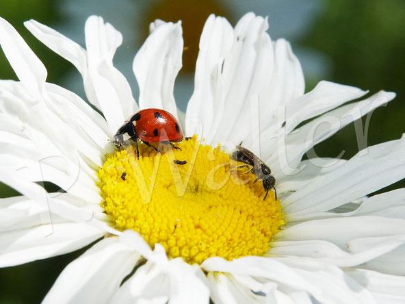 Bild: kleine Furchenbiene, Halictus spec., und ein Marienkäfer auf einer Wiesen-Margerite