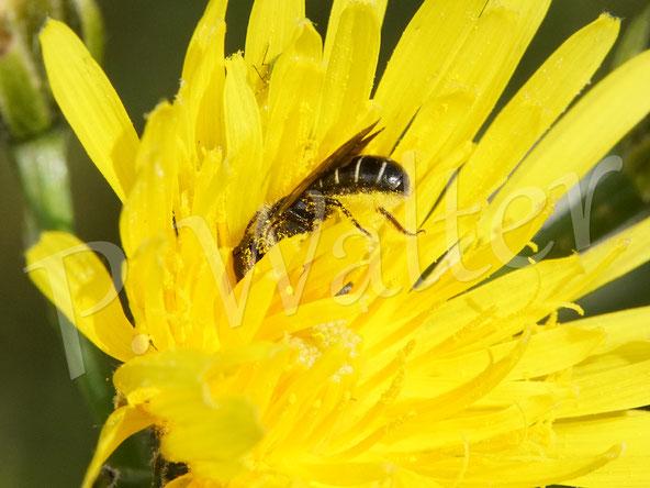 Bild: eine Hahnenfuß-Scherenbiene, Osmia florisomnis,  Nektar trinken am Wiesen-Pippau