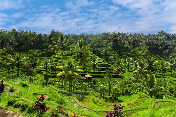 Blick auf Reisfelder in Indonesien