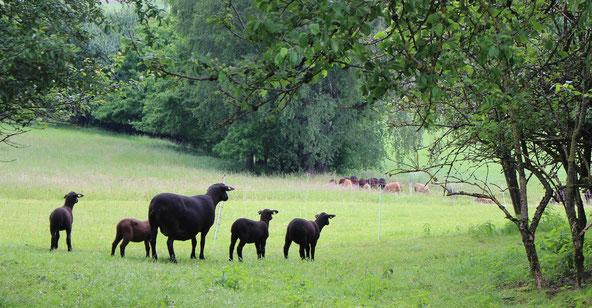 Jura Mutterschaf mit Vierling auf der Weide