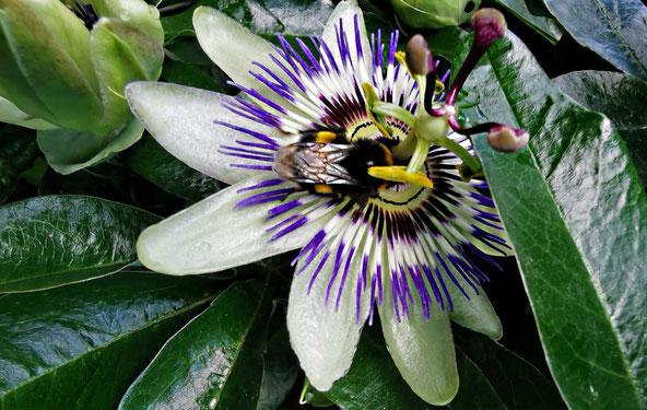 Blaue Passionsblume mit Hummel. Winterhart, ideal für vertikale Gärten und als sommerliche Insektenweide von K.D. Michaelis