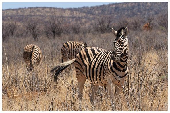 Zèbre des plaines de Namibie