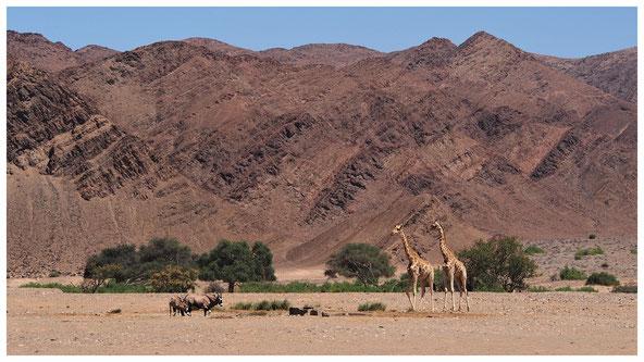 Girafe de Namibie