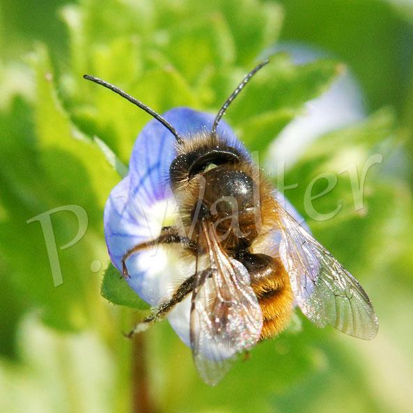 Bild: Männchen, Rostrote Mauerbiene, Osmia bicornis, am Gamander-Ehrenpreis