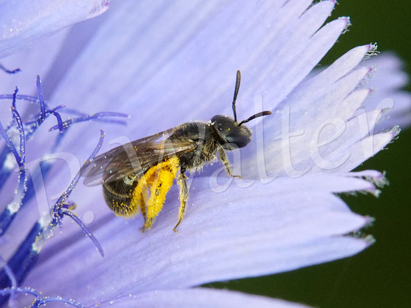 Bild: kleines Furchenbienenweibchen, Halictus spec., an der Wegwarte