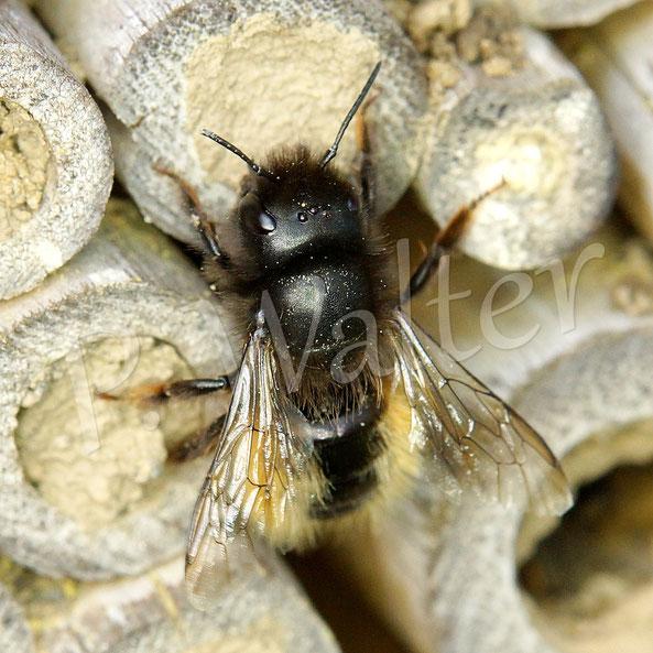 """25.04.2019 : ein altes Weibchen der Gehörnten Mauerbiene, die Flügel scheinen noch sehr gut in Ordnung, aber die ursprünglich dunkelorange Behaarung ist verblasst und es zeigt sich eine glänzende """"Tergitenglatze"""" ..."""