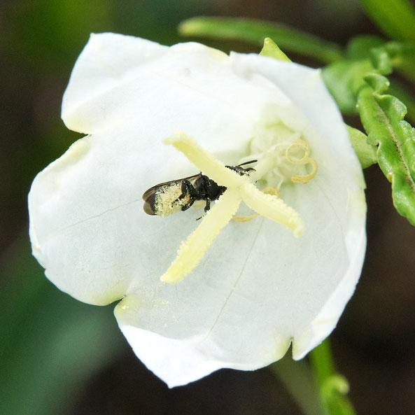 Bild: Glockenblumen-Scherenbiene, Osmia rapunculi, streift Pollen der Pfirsichblättrigen Glockenblume an ihre Bauchbürste