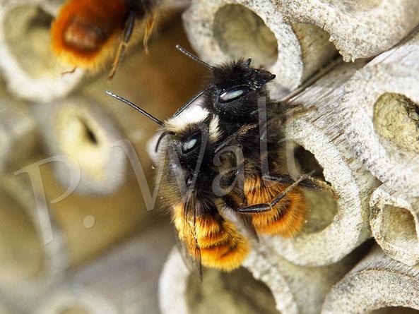 Bild: eins der ersten Pärchen der Gehörnten Mauerbiene, Osmia cornuta