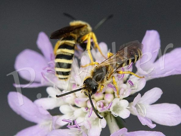 Bild: Männchen der Gelbbindigen Furchenbiene, Halictus scabiosea, an einer Skabiose