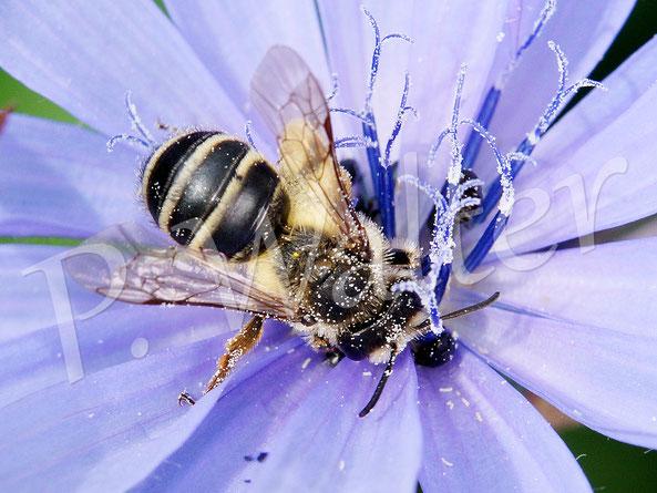 08.07.2017 : wahrscheinlich eine Bindensandbiene an der Wegwarte