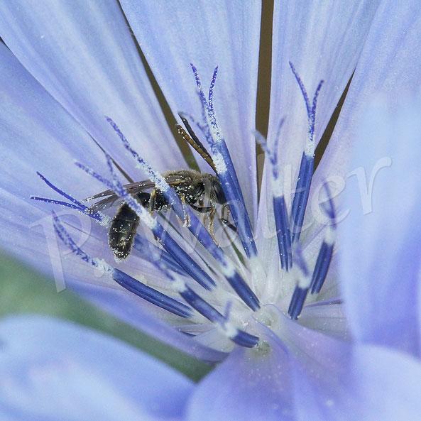 Bild: Wildbiene an einer Wegwarte