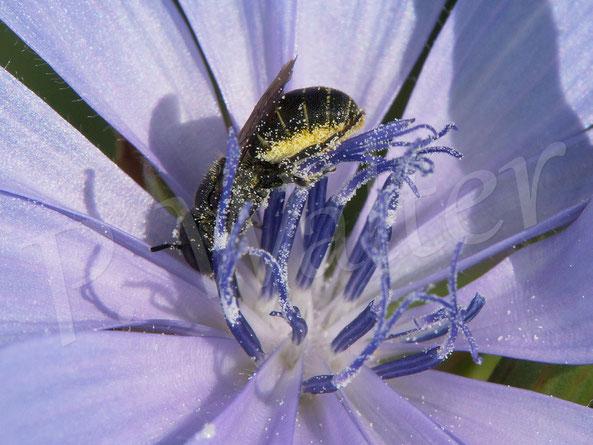 Bild: Löcherbiene, Osmia truncorum, trinkt Nektar und sammelt Pollen der Wegwarte