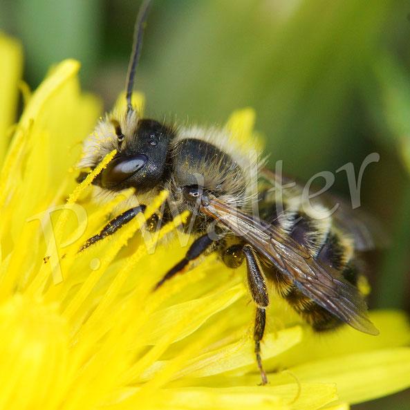 Bild: eine andere Wildbiene, scheinbar ein frisch geschlüpftes Männchen, am Löwenzahn