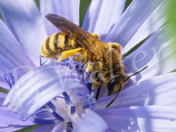 30.06.2019 : Gelbbindige Furchenbiene, Halictus scabiosae, Weibchen, trinkt Nektar einer Wegwartenblüte