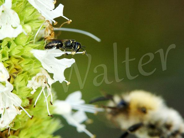 Bild: viel los am Weißen Ysop, eine kleine Maskenbiene und etliche Hummeln laben am Nektar