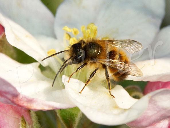 Bild: Männchen, Rostrote Mauerbiene, Osmia bicornis, Apfelblüte, Nektar