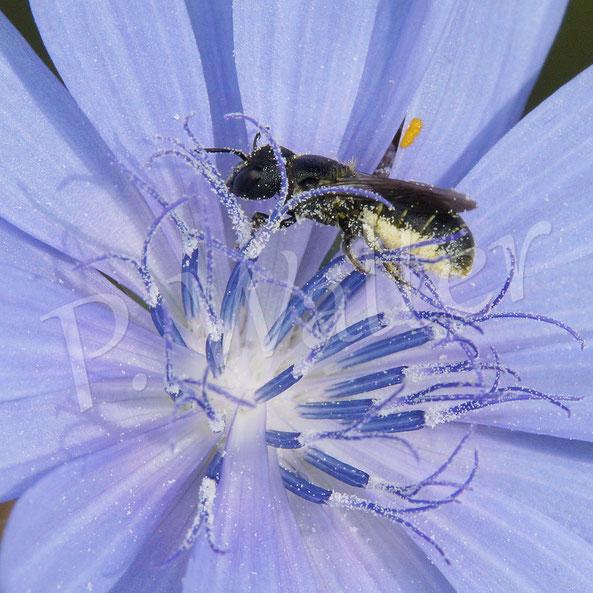 Bild: Löcherbiene, Osmia truncorum, an einer Wegwartenblüte