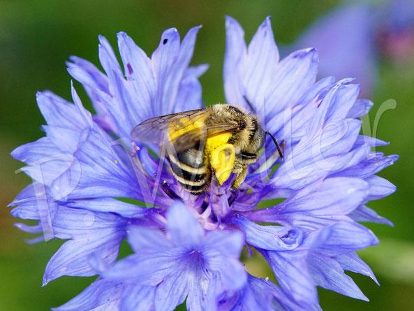Bild: weibliche Sandbiene (?) an einer Kornblume