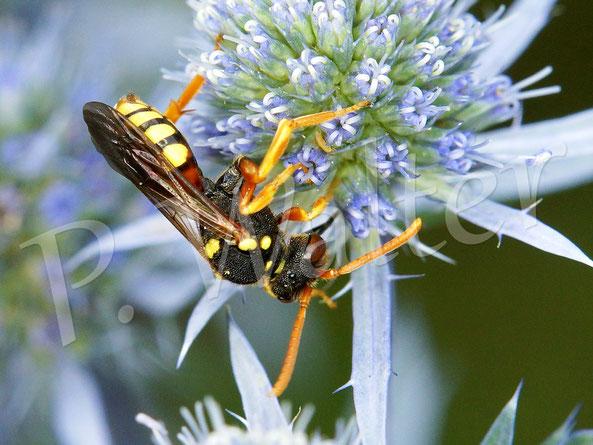 Bild: eine Wespenbiene, Nomada spec., auf der blauen Kugeldistel