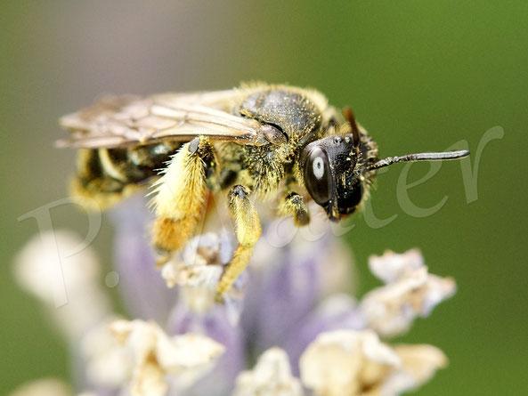 Bild: eine Wald-Schenkelbiene ruht auf einem Lavendel
