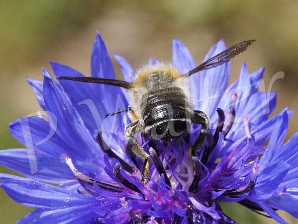 31.05.2020 : eine kräftige Wildbiene, leider nur von hinten erwischt, vielleicht eine männliche Blattschneider ?
