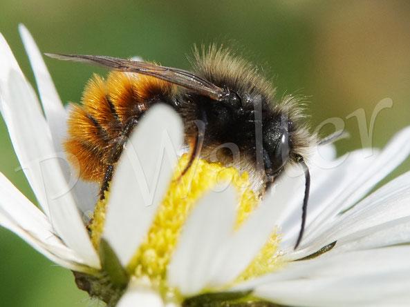 Bild: Männchen der Gehörnten Mauerbiene, Osmia cornuta,, am Gänseblümchen
