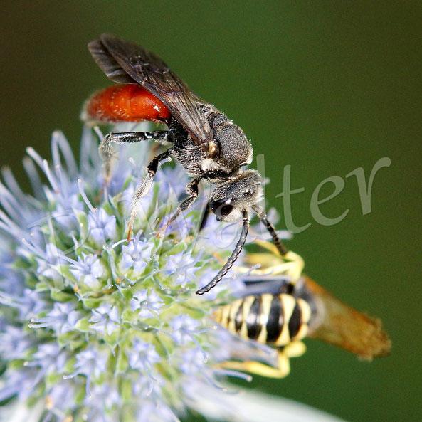 21.07.2018 : eine Blutbiene und hinten ein männlicher  Bienenwolf an der Kugeldistel
