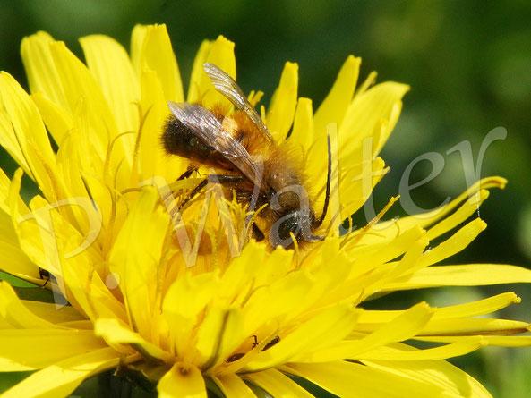 Bild: Männchen, Rostrote Mauerbiene, Osmia bicornis, am Löwenzahn