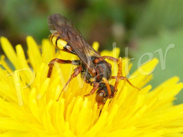 Bild: Wespenbiene, Nomada spec., am Löwenzahn