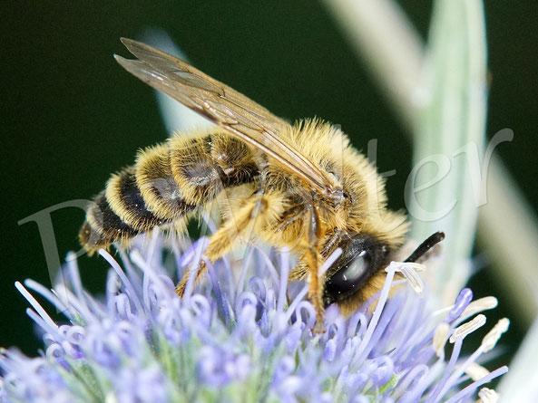 Bild: ein Sandbienen(?)männchen an der blauen Kugeldistel