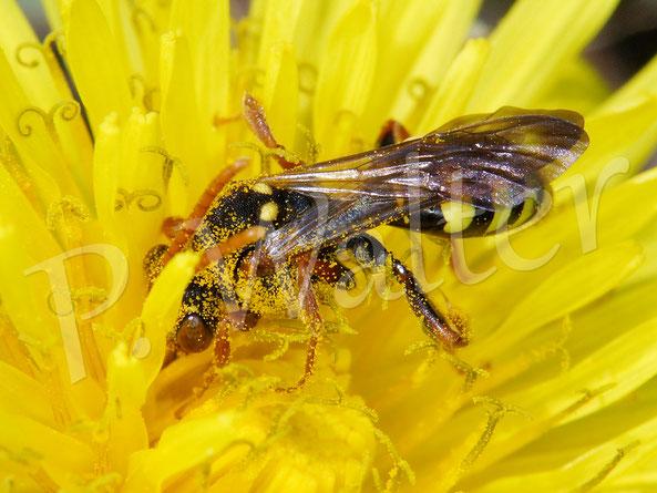 Bild: eine Wespenbiene, Nomada spec., am Löwenzahn