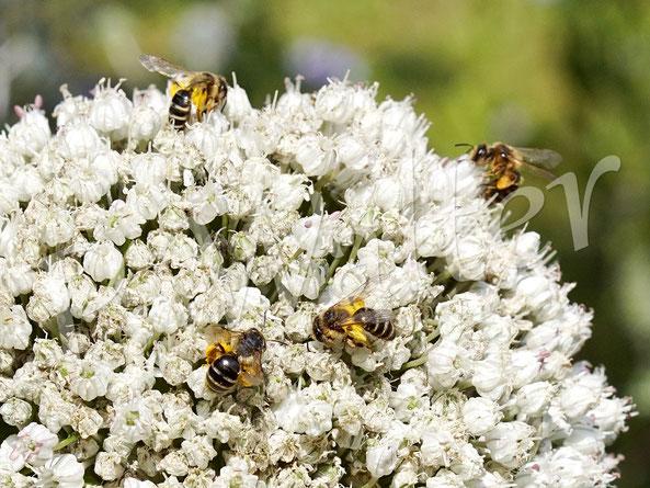 Bild: emsig bedienen sich hier gleich mehrere Weibchen, Sandbienen, an den Blüten des Porree / Lauchs