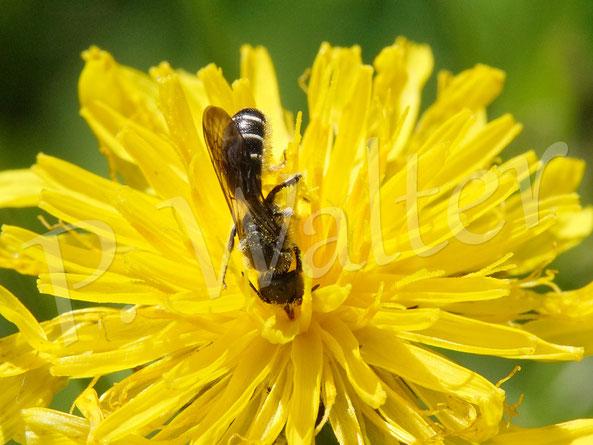 Bild: Hahnenfuß-Scherenbiene, Osmia florisomnis, am Wiesen-Pippau
