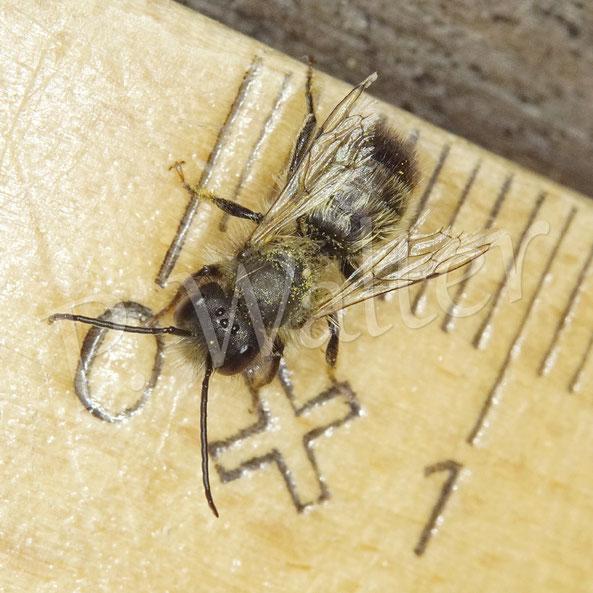 Bild: kleines Mauerbienenmännchen, Osmia spec.