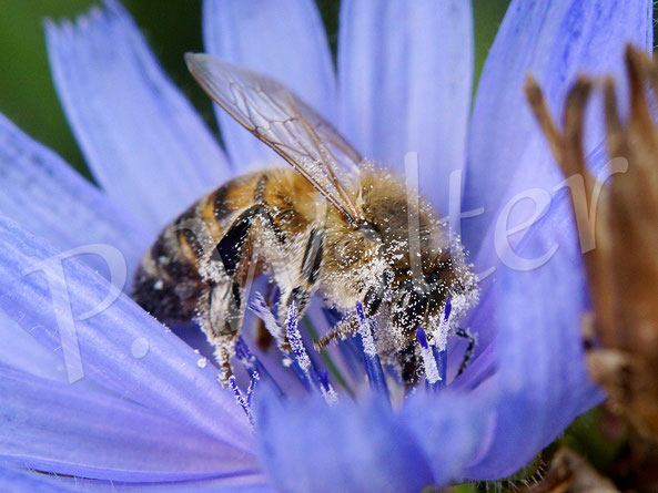 27.08.2017 : natürlich dürfen auch die Honigbienen in dieser Aufzählung nicht fehlen, wenn es um die Wegwartenblüten geht ...