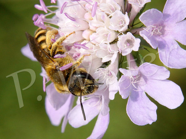 Bild: Weibchen, Gelbbindige Furchenbiene, Halictus scabiosae, an einer Skabiose