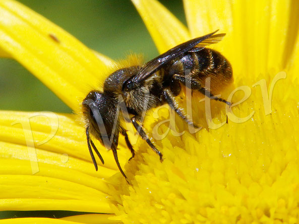 09.06.2019 : Löcherbiene, Osmia truncurum,  am Ochsenauge