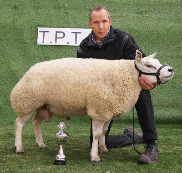 TPTO T.P.T.O. texelaar texel sheep beltex schaap schapen ram rammen