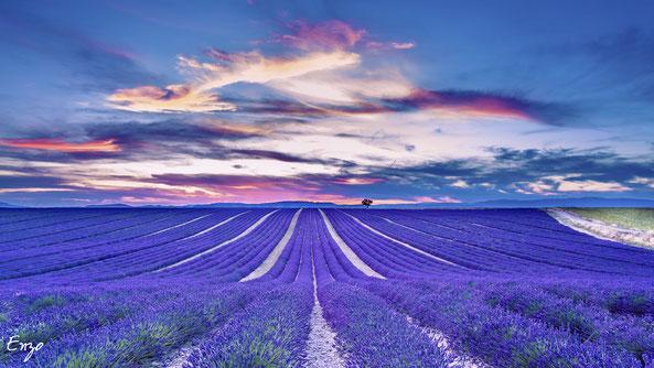 Champs de lavande - Plateau de Valensole - lavender fields Provence
