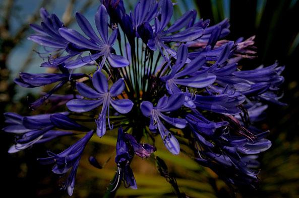 _DSC8008-Agapanthe-Agapanthus-Liliacées