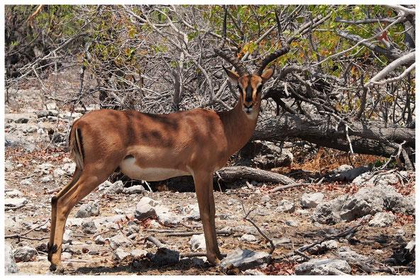 Impala à face noire de Namibie