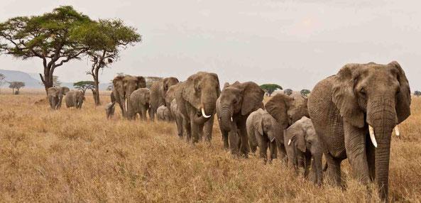 le carnaval des animaux éléphant contrebasse