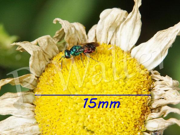 Bild: eine winzige Goldwespe auf der Wiesen-Margerite