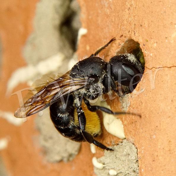 09.08.2020 : wegen des Pfanzenmörtels als Nistverschluss wohl eine Osmia-Art ( Mauerbiene)